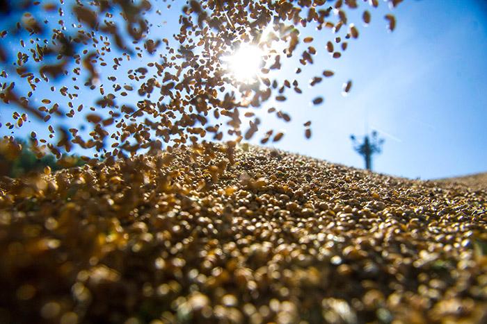 ОЗК выявила беспрецедентное хищение зерна изфедерального фонда