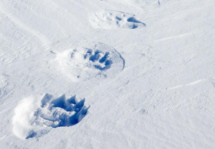 СК проверит сообщения об убийстве чиновниками спящего медведя в Пермском крае