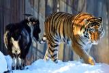 Тигра, прославившегося дружбой с козлом, планируют отправить из Приморья на Кубань