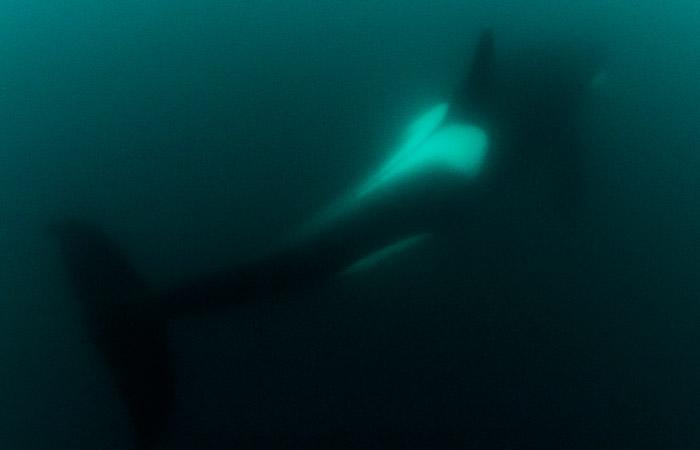 """Greenpeace предупредил об угрозе гибели белух и косаток в """"китовой тюрьме"""" под Находкой"""
