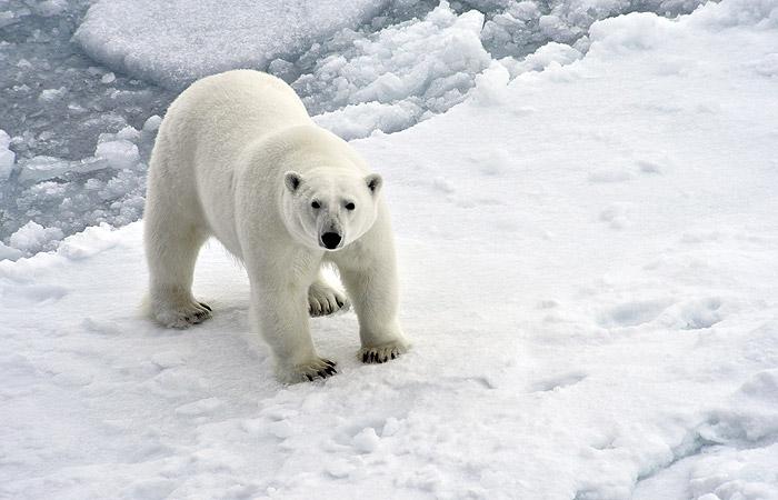 На Новой Земле ввели чрезвычайное положение из-за нашествия белых медведей
