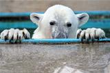 Власти Новой Земли объяснили нашествие белых медведей изменением климата