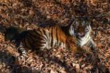 Тигра Амура подарят Приморскому краю