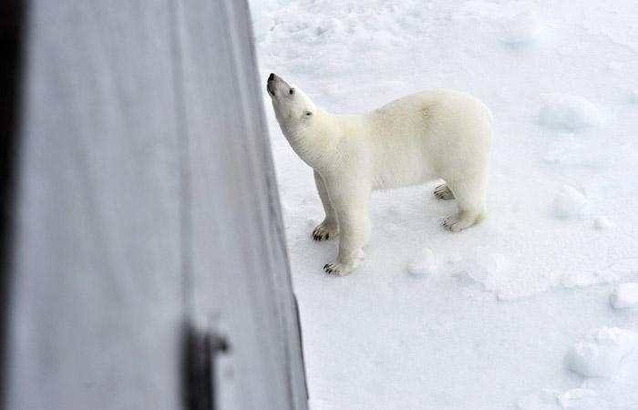 Режим ЧС на Новой Земле из-за нашествия белых медведей снимут 19 февраля