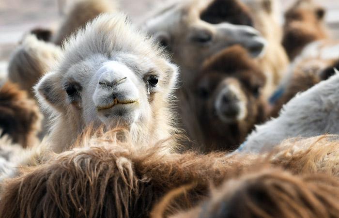 Прокуратура заинтересовалась жертвоприношением верблюдов в Иркутской области