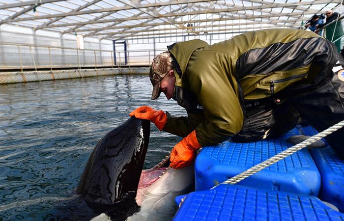 """В """"китовой тюрьме"""" наперекор Минприроды продолжили готовить животных к океанариумам"""
