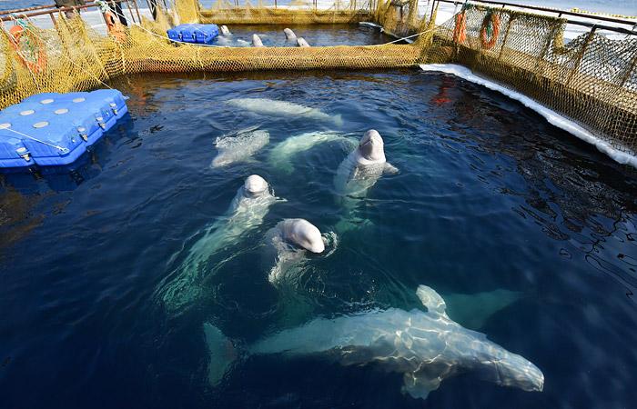"""Отловщики белух и косаток из """"китовой тюрьмы"""" признались, что поймали их для зарубежных океанариумов"""