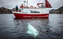 """Российскому """"киту-шпиону"""" понравилось в Норвегии и он отказывается уплывать"""