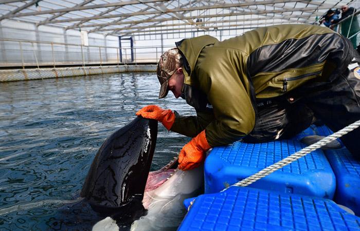 """Отловщики заявили, что выпуск косаток из """"китовой тюрьмы"""" может привести к их гибели"""