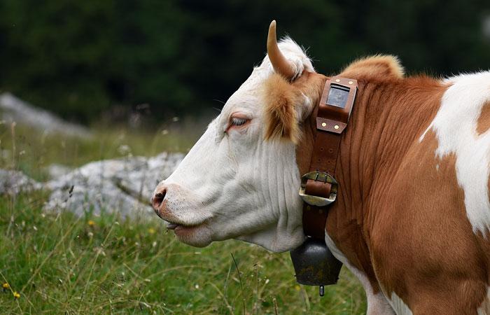 Госдума разрешила россиянам следить за коровами через GPS