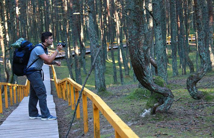 """Танцующий лес"" на Куршской косе огородят забором от туристов"