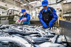 Российские рыбаки практически прекратили вылов сайры