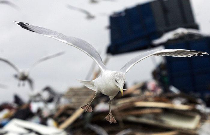 Подмосковные власти отвергли версию о столкновении А321 с птицами со свалок