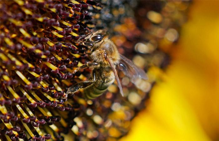 Пчелы начали массово гибнуть в Алтайском крае
