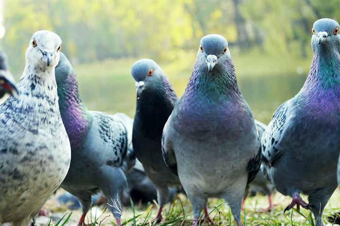 Городские голуби в парке