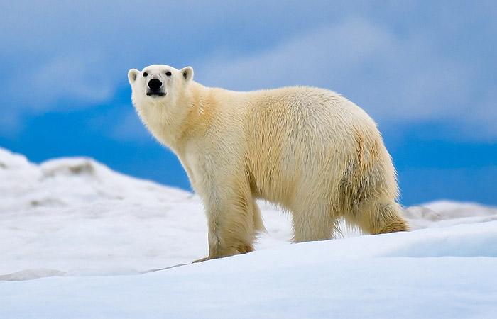 В России впервые пересчитают всех белых медведей