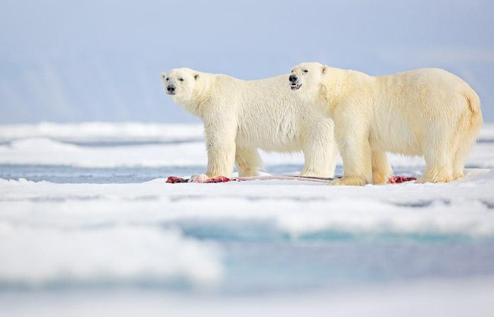 Российские ученые отметили, что белые медведи в Арктике стали чаще есть друг друга