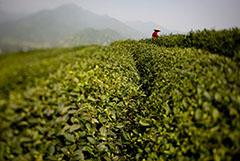В России перестанут продавать листовой чай Lipton и Brooke Bond