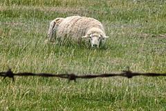 Россельхознадзор запретил вывозить баранину с Северного Кавказа до мая 2021 года