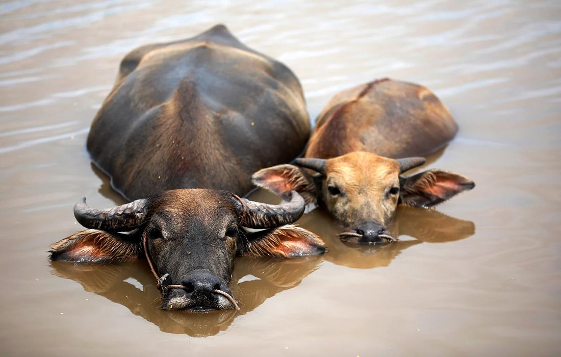 Буйволы спасаются от жары в водоеме. Провинция Намдинь. Вьетнам.