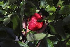 Минсельхоз обещал обдумать идею ввести квоты на импорт яблок и слив