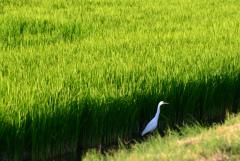 Рисовым полям РФ не хватило воды, а ценам - стабильности после ажиотажа. Обзор