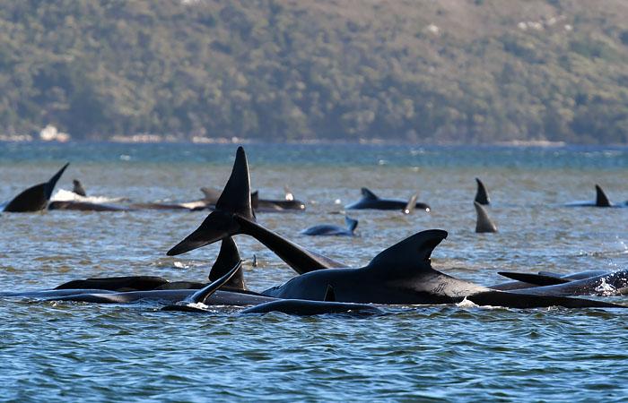 В Австралии начали масштабную операцию по спасению черных дельфинов