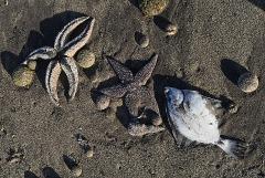 Минприроды Камчатки не нашло загрязнений на пляже с мертвыми животными