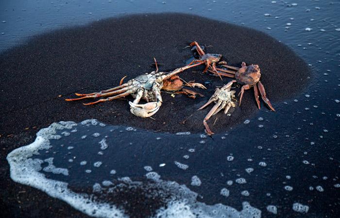 Крабы-стригуны, выброшенные на берег Халактырского пляжа