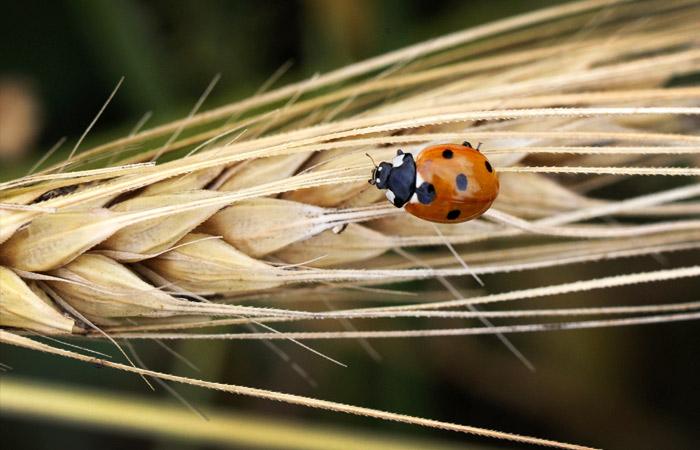 Экспортная пошлина на пшеницу из РФ в рамках квоты составит 25 евро