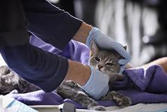 В Мосгордуме предложили запретить ветеринарам удалять кошкам когти