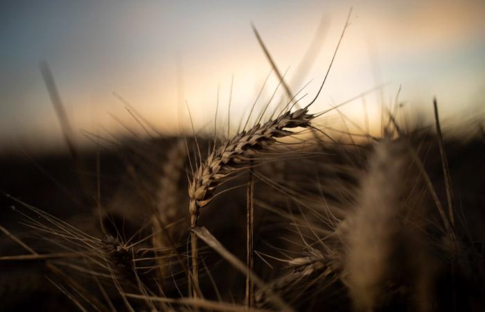 Мишустин повысил экспортные пошлины на пшеницу, кукурузу и ячмень