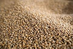 Экспортная пошлина на пшеницу будет взиматься при цене от $200/т