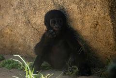 Пользователи Reddit инвестировали более $350 тыс. в сохранение горилл