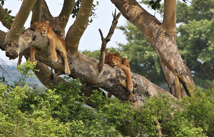 Шесть львов найдены мертвыми в заповеднике Уганды