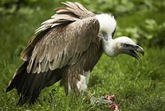 В Московском зоопарке из-за посетителя погиб краснокнижный белоголовый сип