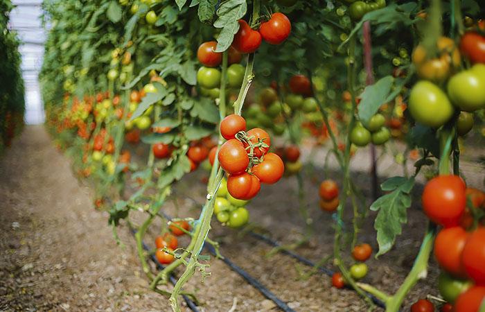 Минсельхоз предложил увеличить квоту Турции на ввоз томатов до 300 тысяч тонн