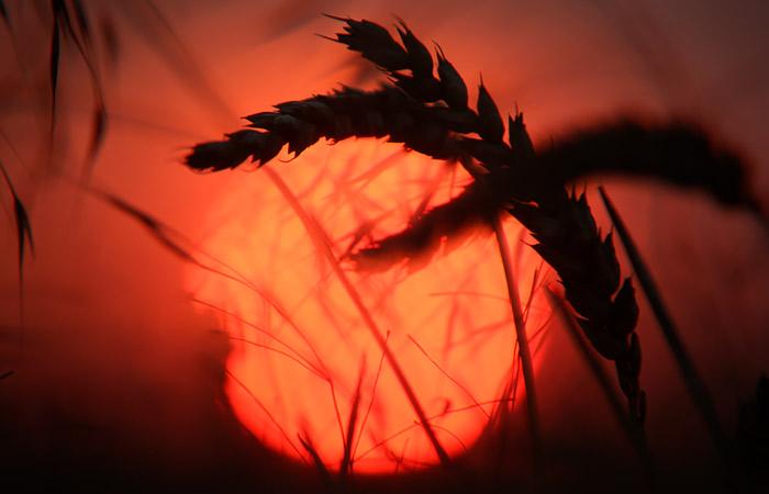 Экспортеры пшеницы из РФ выиграли 5 из 6 лотов на тендере по поставкам в Египет