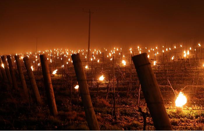 Морозы уничтожили значительную часть урожая виноделов Франции