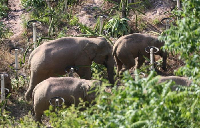 Мигрирующие китайские слоны стали международными звездами в интернете
