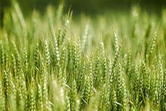 Аграрии не исключают сокращения озимого сева из-за дорогих удобрений. Обзор