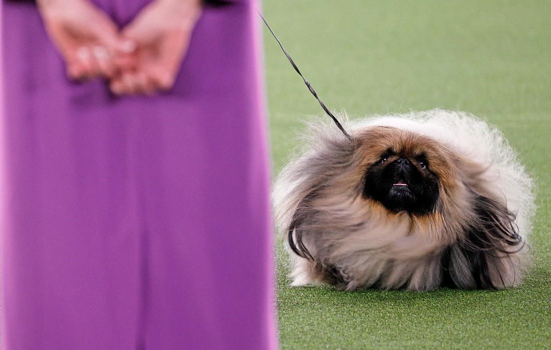 Победитель старейшей в мире выставки собак в США