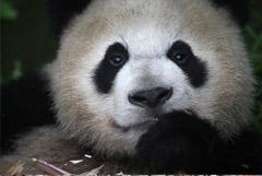 Больших панд спасли от угрозы вымирания