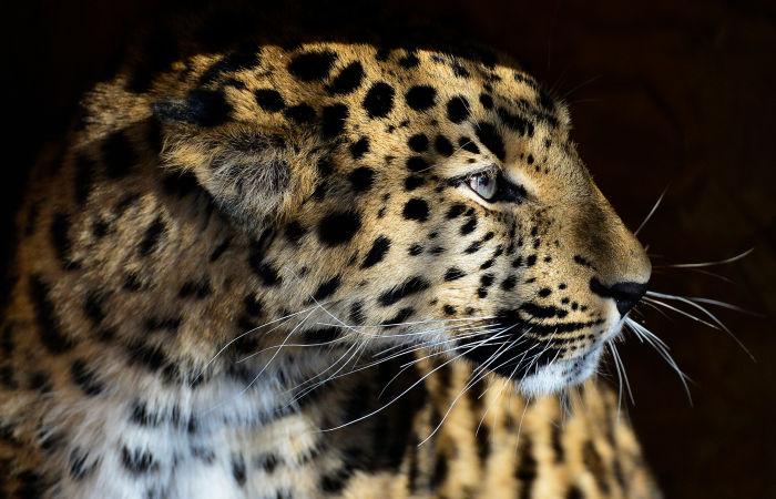 Ученые получили новые данные о численности дальневосточного леопарда
