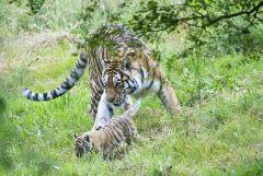 В Приморье задержали двух подозреваемых в убийстве амурского тигра