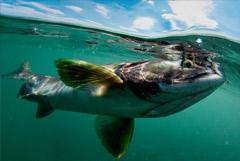 Поставки рыбы с Дальнего Востока сокращаются из-за роста стоимости перевозок