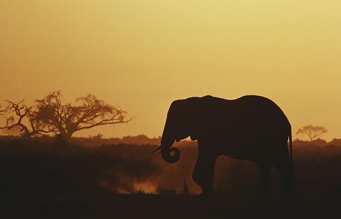 Браконьеры ускорили эволюцию африканских слонов, которые стали чаще рождаться без бивней