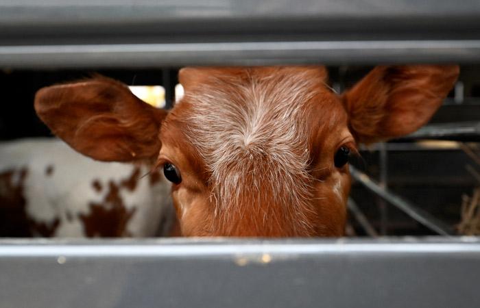 В Греции запретили халяльный и кошерный убой скота